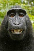 1031234_le-selfie-dun-singe-a-lorigine-dune-polemique-sur-le-droit-dauteur-web-0203690594369.jpg
